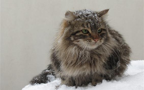 Papéis de Parede Gatinho cinzento peludo, neve, inverno