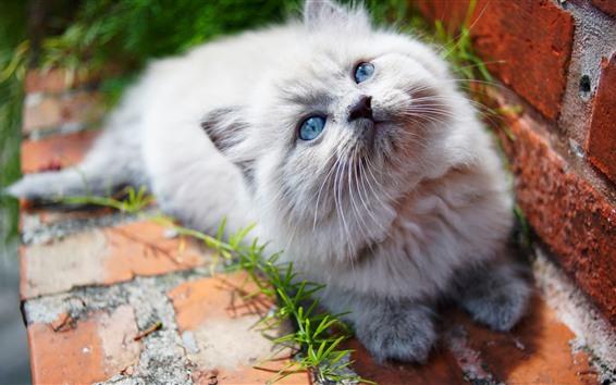Papéis de Parede Gatinho branco peludo olhar para cima, olhos azuis