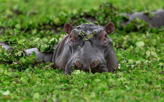Обои Бегемот, болото, зеленые растения