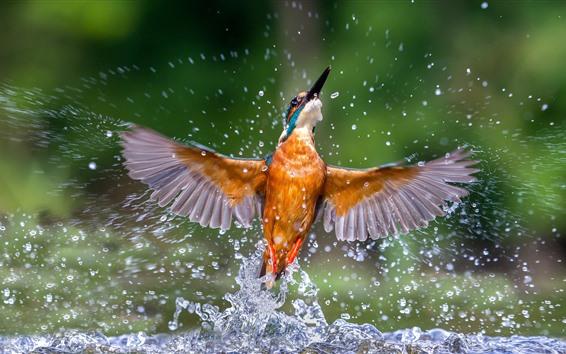 Papéis de Parede Martim-pescador bela dança, asas, respingos de água, pássaro
