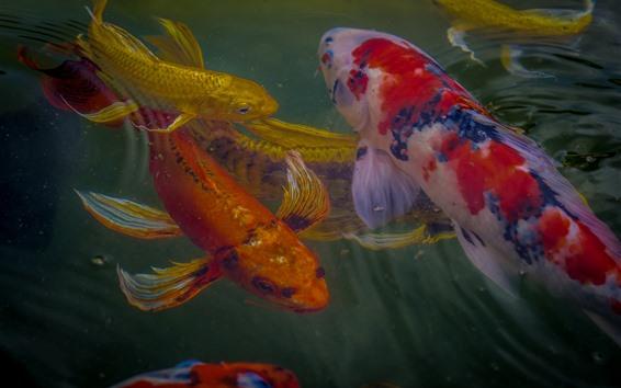 Обои Кои, рыба, цвета, вода