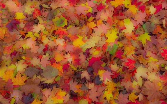 Wallpaper Many red and yellow maple leaves, autumn