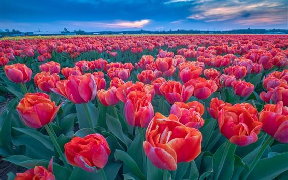 Wallpaper Many red tulips, flower field