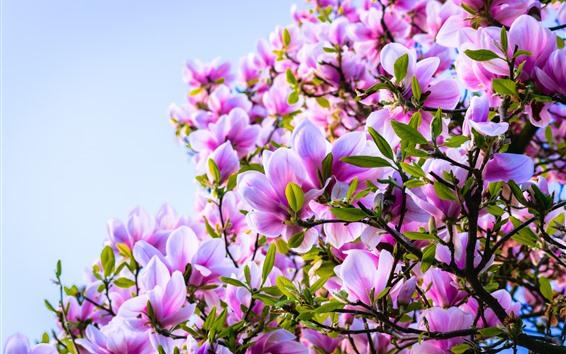 배경 화면 핑크 꽃, 목련, 봄