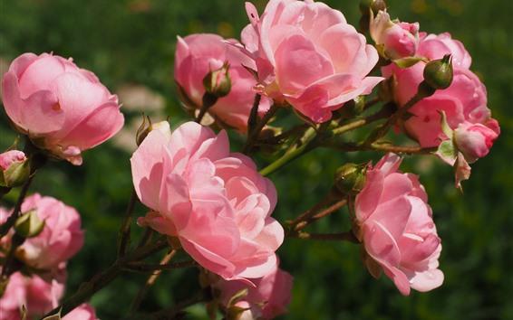壁紙 ピンクのバラ、花びら、花のクローズアップ