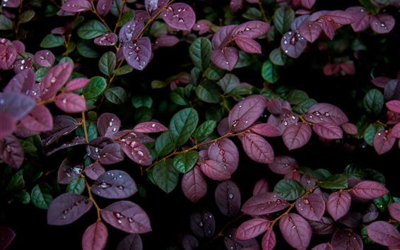 Обои Фиолетовые и зеленые листья, капли воды