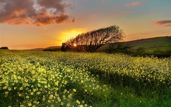 Fond d'écran Fleurs de colza, arbre, coucher de soleil, ciel, nuages
