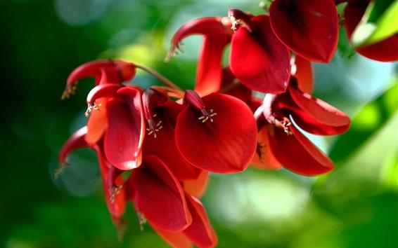 Papéis de Parede Cockscomb vermelho, flores close-up