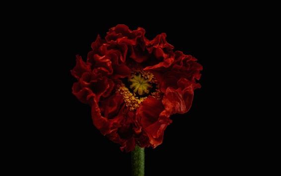 Papéis de Parede Fotografia macro de tulipa vermelha, fundo preto