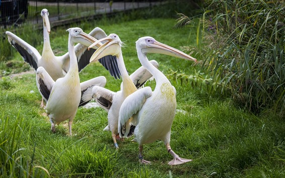 Обои Некоторые пеликаны, птица, зеленая трава
