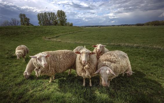 Обои Некоторые овцы, трава, поле