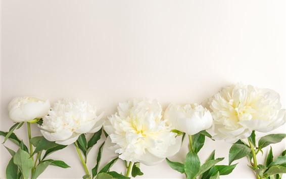 Fondos de pantalla Algunas flores de peonía blanca