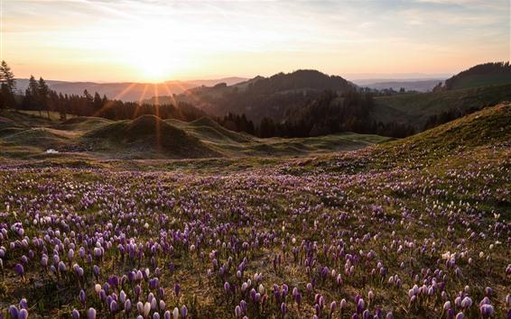 Fond d'écran Printemps, fleur de crocus, montagnes, rayons de soleil, matin