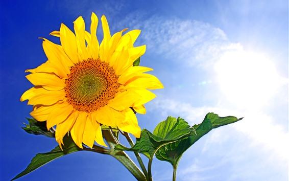 壁紙 ひまわり、黄色の花びら、青い空、太陽光線