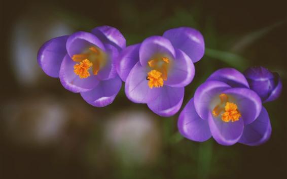 배경 화면 보라색 크로커스 3개, 꽃잎