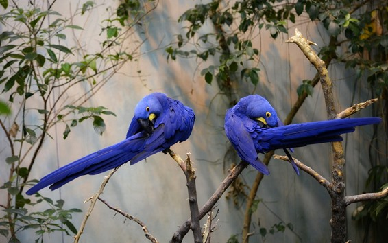 Wallpaper Two blue feather parrots