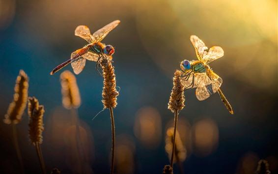 Papéis de Parede Duas libélulas, grama, verão