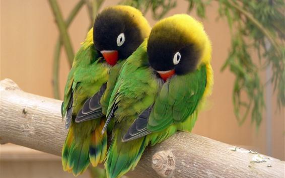 Papéis de Parede Dois papagaios verdes em dormir