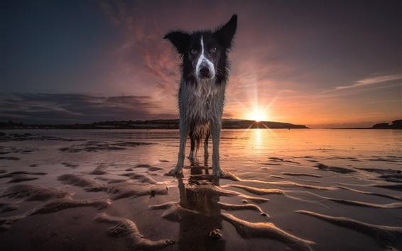 Papéis de Parede Opinião dianteira do cão molhado, praia, por do sol, mar