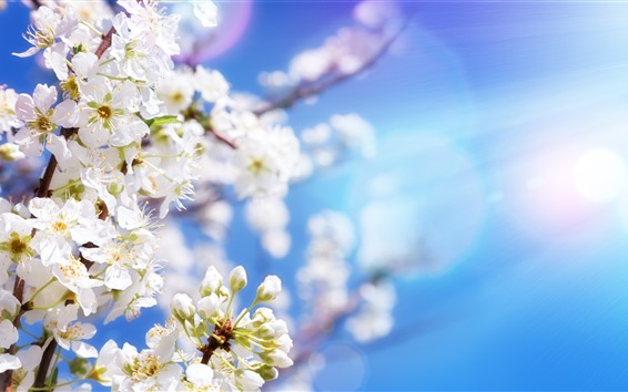 배경 화면 화이트 사과 꽃, 벚꽃, 봄, 태양 광선