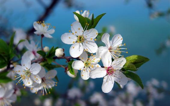 Papéis de Parede A cereja branca floresce a flor, mola