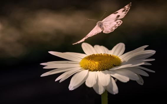 Fondos de pantalla Margarita blanca, mariposa, insecto