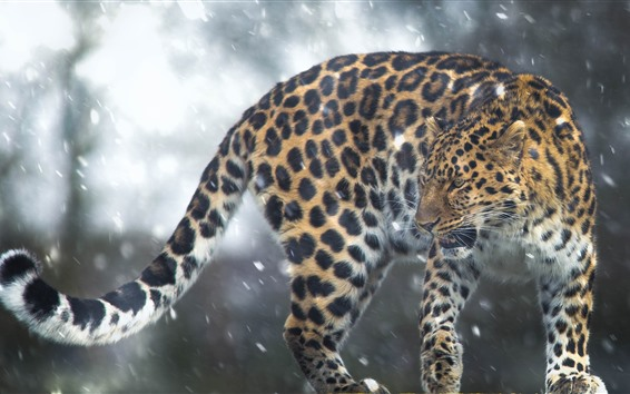 Wallpaper Wildlife, leopard, snow, winter