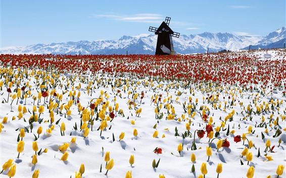 Wallpaper Windmill, tulips, snow, winter