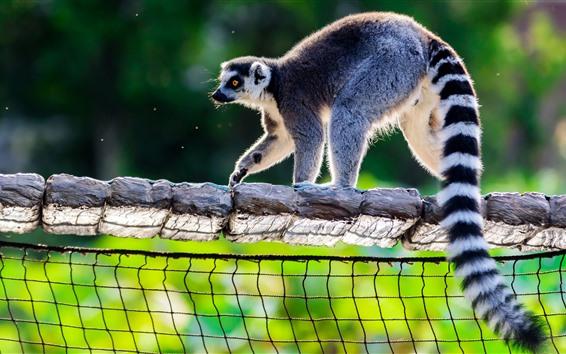 Wallpaper lemur, mesh, tail