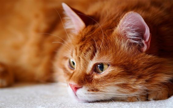 Обои Кот хочет спать, смотреть, лицо, глаза