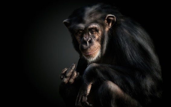 Обои Шимпанзе, обезьяна, животное