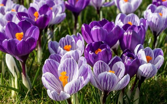 배경 화면 크로커스, 사프란, 자주색 꽃, 꽃잎, 봄