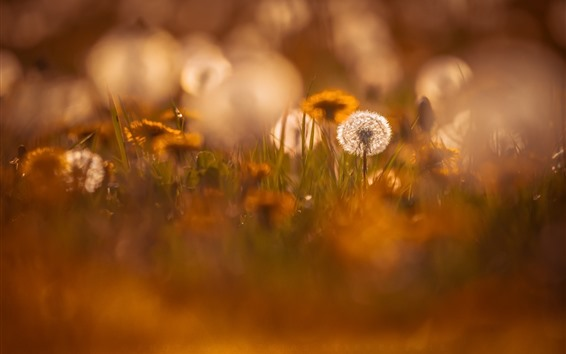 Wallpaper Dandelion, hazy, nature