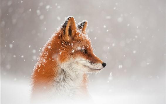 Обои Лиса, взгляд, голова, вид сбоку, снег