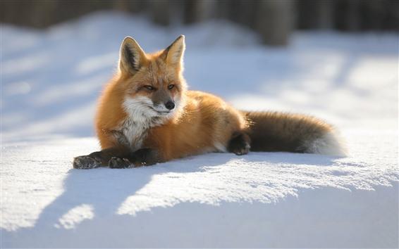 Papéis de Parede Fox, neve, sol, inverno