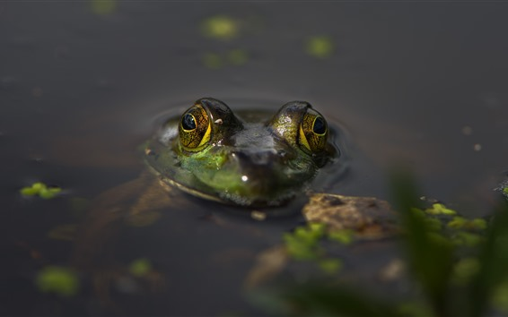 배경 화면 개구리, 머리, 눈, 연못, 물