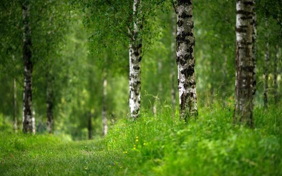 壁紙 緑の芝生、白樺、木々、夏