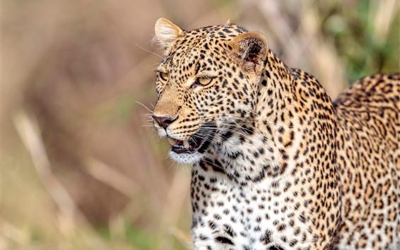 Обои Леопард, живая природа, лицо