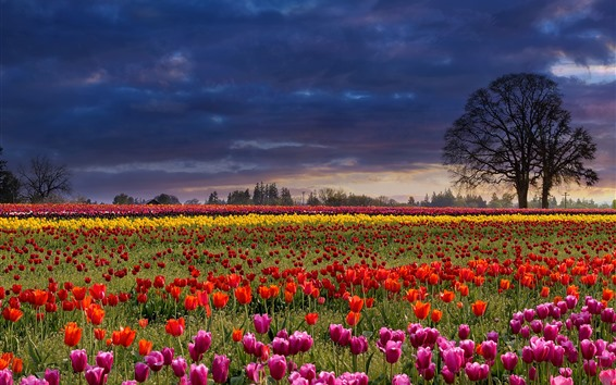 Wallpaper Many tulips, colorful flowers, trees, clouds