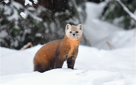 Wallpaper Marten, snow, winter, wildlife