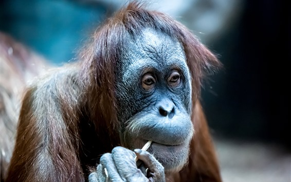 Обои Орангутан, взгляд, животное
