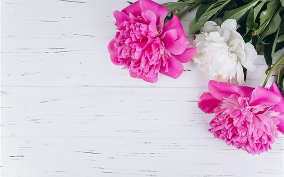 Fondos de pantalla Peonias rosas y blancas.