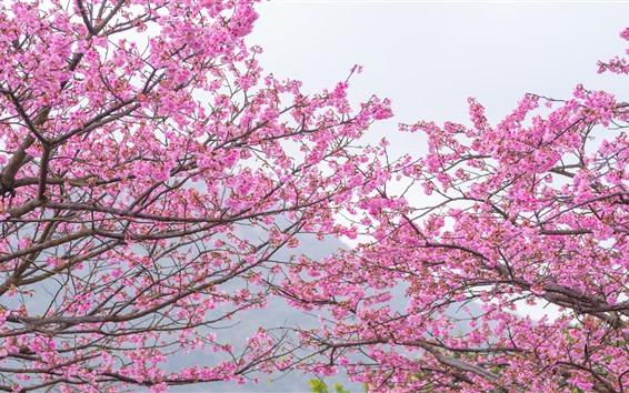 Papéis de Parede Sakura-de-rosa, florescer, primavera, árvores, lindas flores