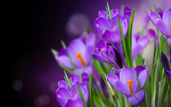 Fondos de pantalla Flores moradas, azafranes, fondo brumoso.