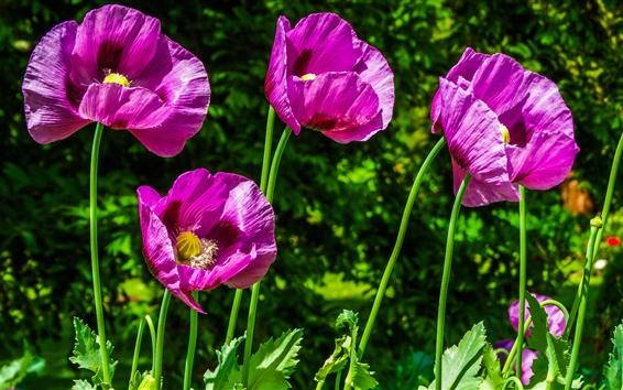Fond d'écran Coquelicots violets, gros plan fleurs