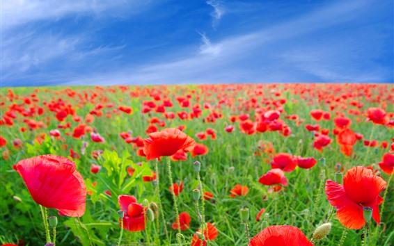Fond d'écran Coquelicots rouges, champ de fleurs, ciel bleu