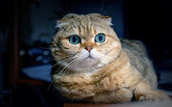 壁紙 スコティッシュフォールド猫、青い目、正面図