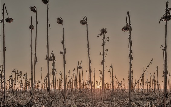 Papéis de Parede Girassóis, sol, manhã