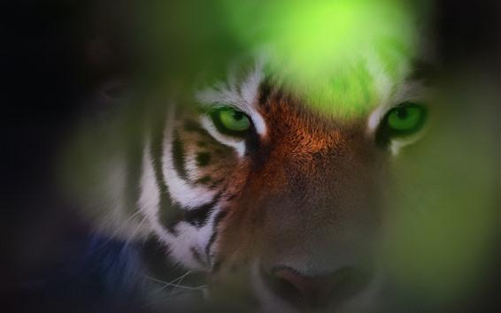 Обои Тигр, лицо, взгляд, глаза, дымка