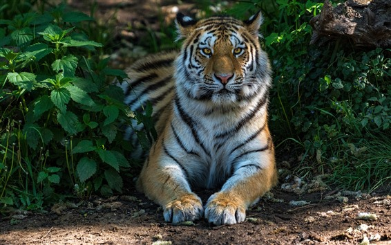 Wallpaper Tiger front view, face, paws, wildlife